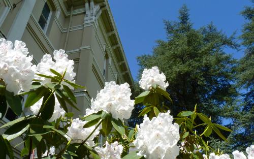 close up of a rhodedendron bush